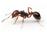 House Ant