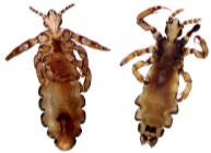Paper Lice
