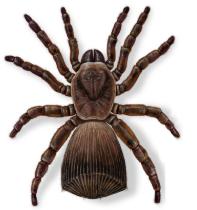 Trapdoor Spider (m)